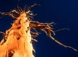 Dead tree at Chicken Spring Lake
