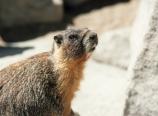 Marmot on Whitney summit