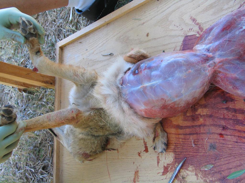 Coyote Skinning