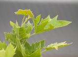 Platanus acerifolia Bloodgood