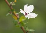 Malus floribunda