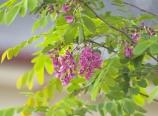 Robinia ambigua Purple robe