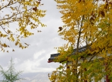 Goldenrain tree during fall