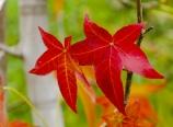 Sweetgum leaves during fall