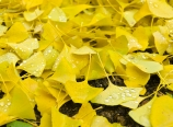 Fallen gingko leaves