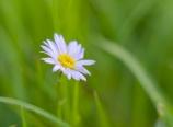 Wildflower at Lake 10880 drainage creek