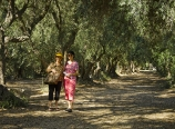 Among the olive grove