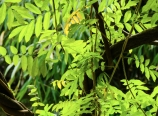 Huashan Garden wisteria