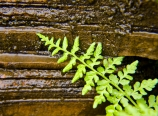 Fern at Marble Canyon
