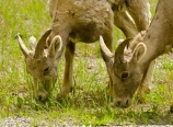 Young bighorn sheep at Radium Hot Springs