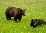 Black bears in Kootenay National Park