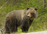 Grizzly by the Bow Valley Parkway