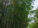 Bamboo and sunlight