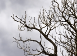 Dried manzanita bush