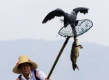 Fishing cormorants