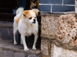 Dog in Lijiang