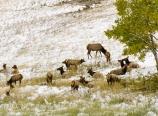 Elk herd at the Longs Peak viewing area