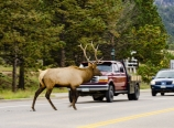 Elk crossing in Estes Park