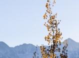 Aspen along Boreas Pass Road