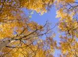 Golden aspens against blue sky