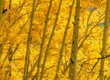 Aspens backlit