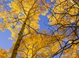 Golden aspens against blue sky