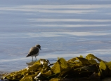 Sandpiper and kelp