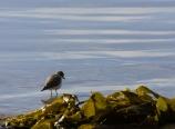 Sandpiper and kelp