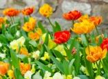 Tulips outside Topkapı walls