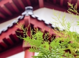 Chinese scholar tree