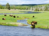 Bison along the Madison River