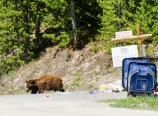 Grizzly digging trash