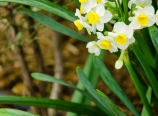 Chinese narcissus