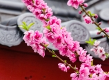 Peach blossoms and roof tile