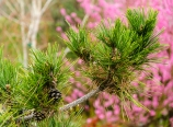 Japanese black pine and flowering peach