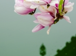 Magnolia over the pond