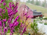 Chinese redbud and gazebo