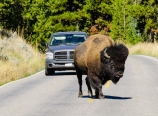 Bison on the highway