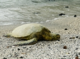 Sea turtle basking
