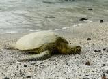 Sea turtle basking