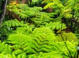 Rainforest in Volcanoes National Park