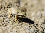 Sierran frog
