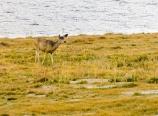 Deer at Guitar Lake