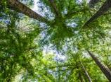 Redwood grove at Big Sur