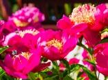 Chinese Garden peonies