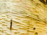 Birch bark detail