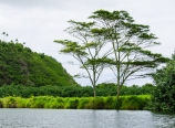 Wailua River with Albizia trees