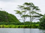 Wailua River with Albizia trees