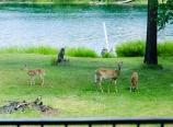 Deer along the Swan River
