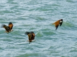 Swooping for fish